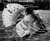 turkey-body-parts