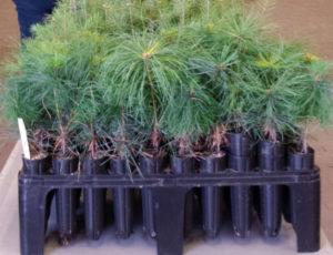 seedlingtree