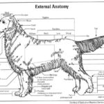 drawing of dog anatomy