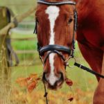face of brown horse with white stripe down face and leather bridle