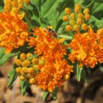 blooming orange flower with green leaves and orange and black bug