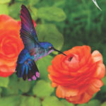 blue and purple humming bird on orange flower