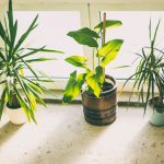 Three houseplants by a window