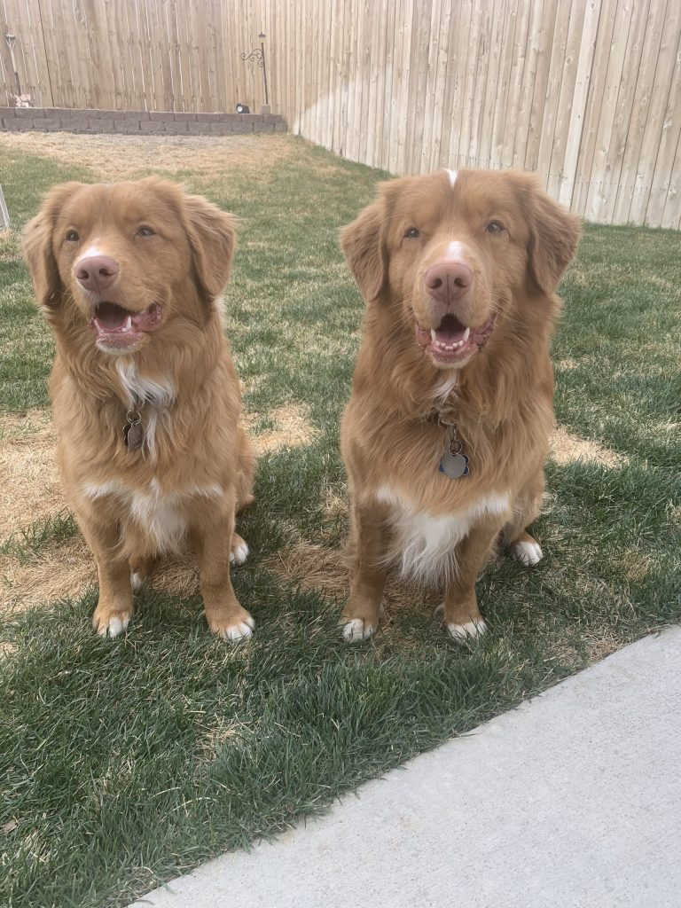 picture of two nova scotia duck toller dogs