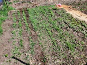 garden plot with green wheat sprouts