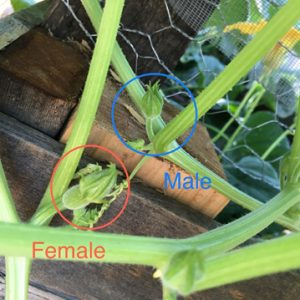 female and male parts of squash plant