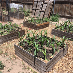 Corn planted in wooden square garden beds