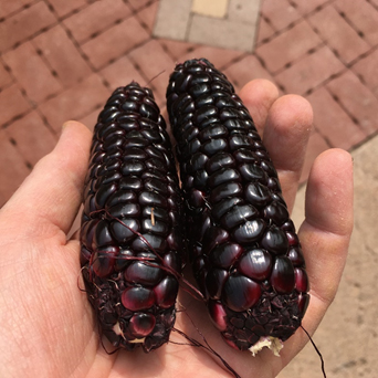 two small ears of corn with reddish purple grains