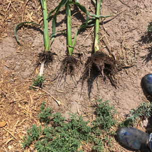 three stalks of corn showing roots