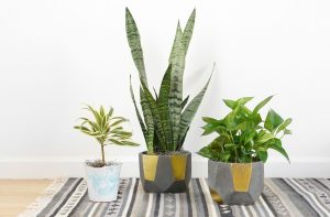 three houseplants in gold and silver pots on a grey and white rug