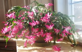 christmas cactus with pink blooms