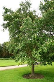 amur maakia tree in green lawn