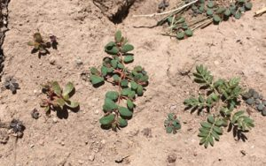 one photo with purslane plant and spurge weed