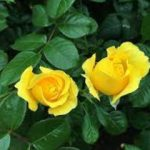 two yellow roses in front of green leaves