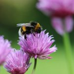 Bumble bee on purple thistle flower